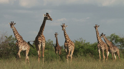 A herd of giraffes Footage