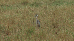 A grey heron swallows a large snake Footage