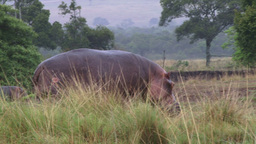 A wounded hippo walking outside water Footage