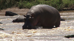 A hippo trying to walk on rocky river Footage