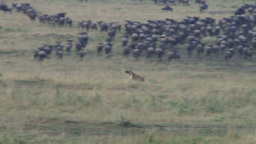 A hyena cuts through masses of migrating wildebeests while hunting Footage