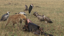 A hyena eating alone while vultures watch Footage
