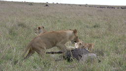 A juvenile lion plays with a dying wildebeest Footage