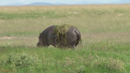 A large hippo coming out of a swamp Footage