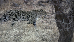 A leopard stalking a prey stops mid step Footage