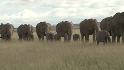 A line of elephants moving to the swamp from dry land Footage