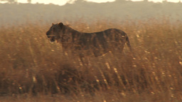 A lion walks through tall grass Footage