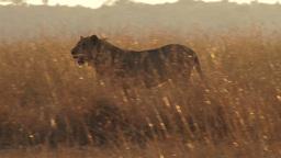 A lion walks through tall grass Footage