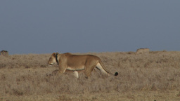 A lion with a radio color start to hunt warthogs Footage