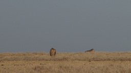 A lioness stalking warthogs Footage