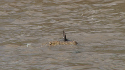 A crocodile carries a dead wildebeest away to the river bank Footage