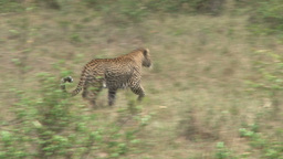 A leopard running away Footage