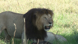 A lion panting in exhostion Footage