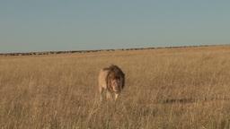 A lion walks towards the camera Footage