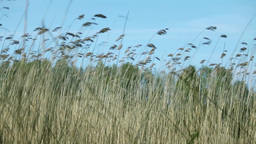 strong wind rustles the tall stems of cattail Footage