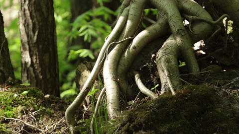aerial roots of the tree Footage