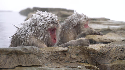 Monkeys bathing in hot springs Footage