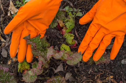 Hands in orange gloves caring for young rhubarb in the garden, soil background Photo