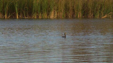 Black cormorant swimming in lake Footage