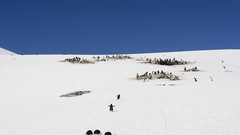 Gentoo Penguins nest in Antarctica Live Action