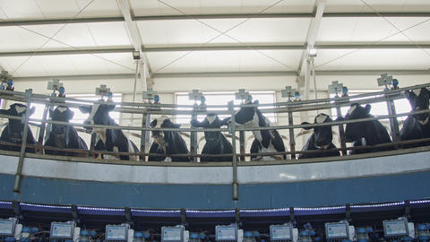 Cows during milking on a rotary milking parlor in a large dairy farm Live Action