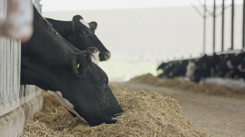 Dairy cows eating hay in a large stable on a dairy farm Footage