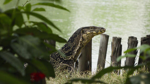 Clouded monitor lizard near water Footage