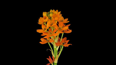 Growing, opening and rotating orange african lily, 4K with ALPHA channel GIF