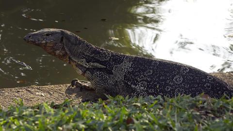 Clouded monitor lizard near water Footage