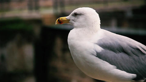 Seagull In Rome, Close Up Footage