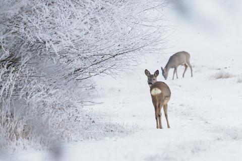 Roe deer in a snowy forest. Capreolus capreolus Fotografía