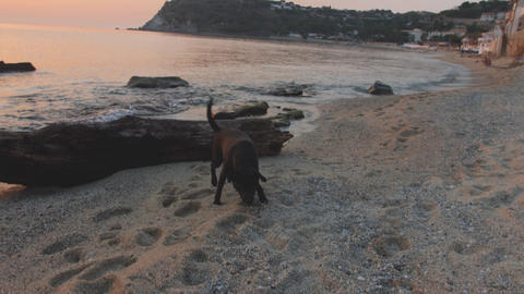 Adolescent black dog walks on beach sniffing something in... Stock Video Footage