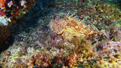 Underwater marine life Scorpionfish resting at the bottom Footage