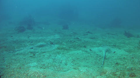 Underwater wildlife in Madagascar - Two spotted stingrays swimming Live Action