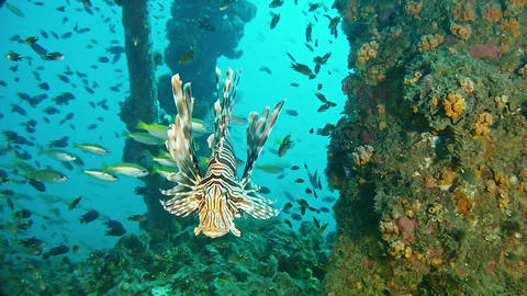 Marine wildlife Lionfish in a wreck - Scuba diving in Madagascar Footage