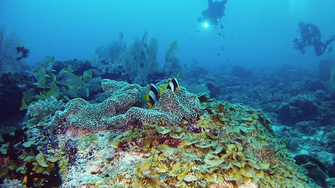 Clown fishes and scuba divers Underwater landscape - Scuba diving in a coral reef Live Action