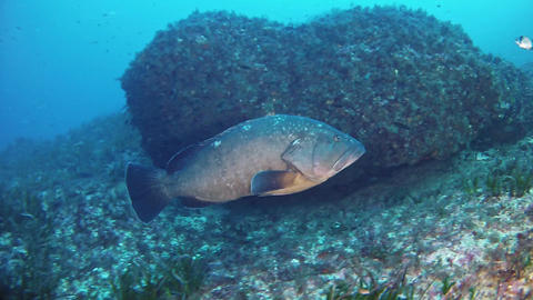 Marine life - Big grouper fish swimming alone in a reef Footage