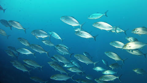 Marine life - Jack fishes school in dark blue water Live Action