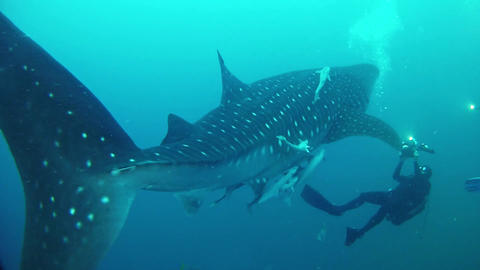 Whale shark and a scuba diver making footage Marine life Live Action