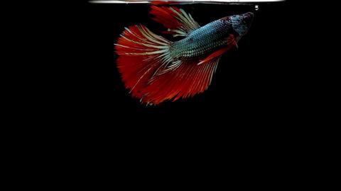 Siamese Fighting Fish Betta Splendens GIF