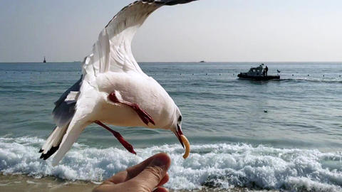 Seagull Eat Snack