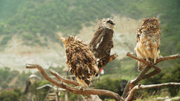 owls on the branch Footage