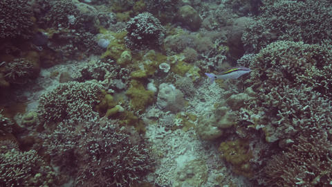 Exotic fish swimming near coral reef on seabed underwater view. Underwater Footage