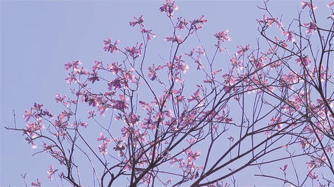 Lapacho Flower Tree In Full Bloom. Lapacho Is The National Tree Of Paraguay Footage