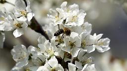 Honey bee on apple tree blossom Footage