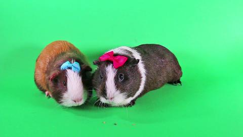 Guinea pig cavy cute pet guinea pigs Archivo