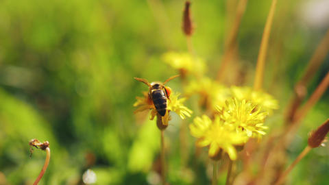 Bee on yellow dandelion Footage