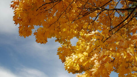 Autumn maple against the blue sky Live Action