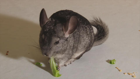 The muzzle is grey chinchilla Footage