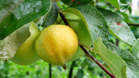 Summer rain in the garden with apples 영상물